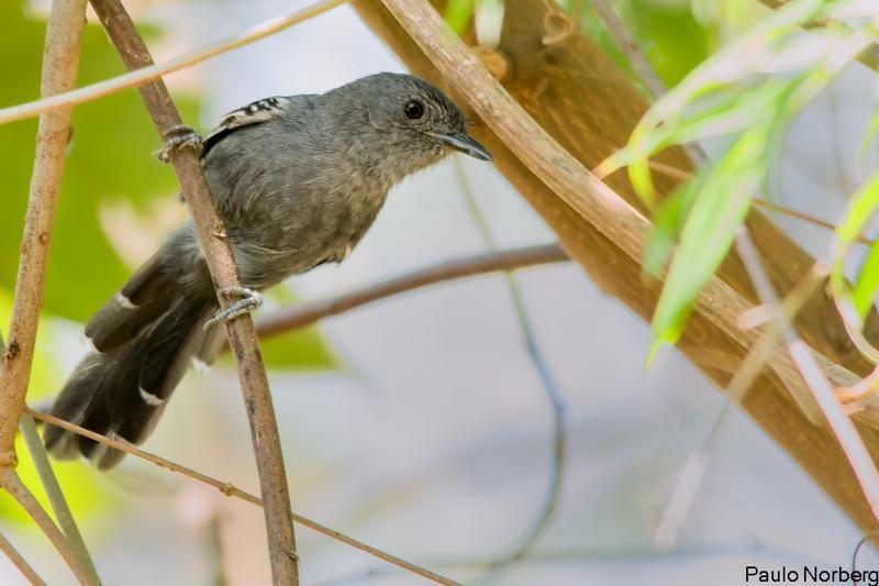 Cercomacra brasiliana<br /> Chororó-cinzento<br /> Rio de Janeiro Antbird<br /> Hormiguero brasileño