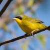 Geothlypis aequinoctialis<br /> Pia-cobra<br /> Masked Yellowthroat<br /> Arañero cara negra
