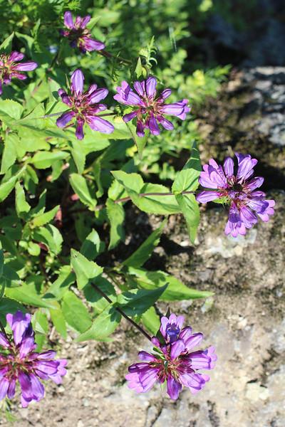 Small-Flowered Penstemon