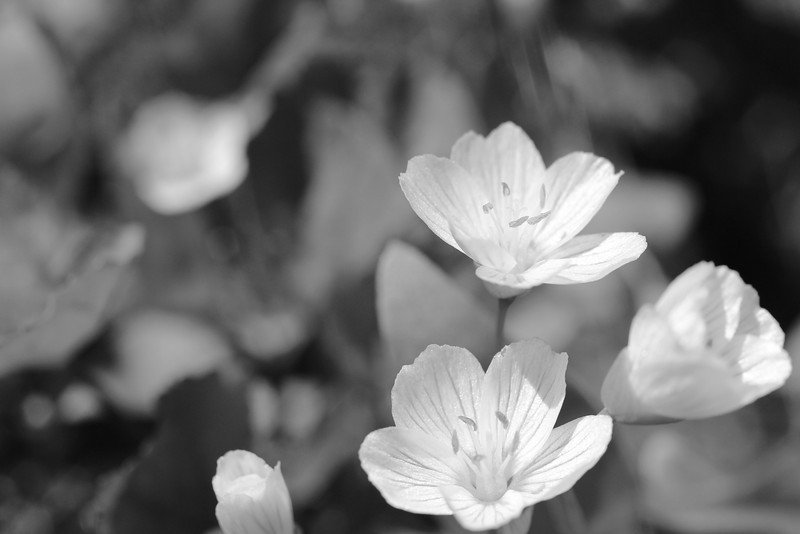 A type of Geranium (maybe?)