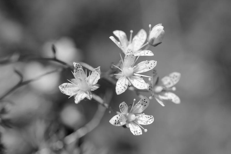 Saxifrage (I think)