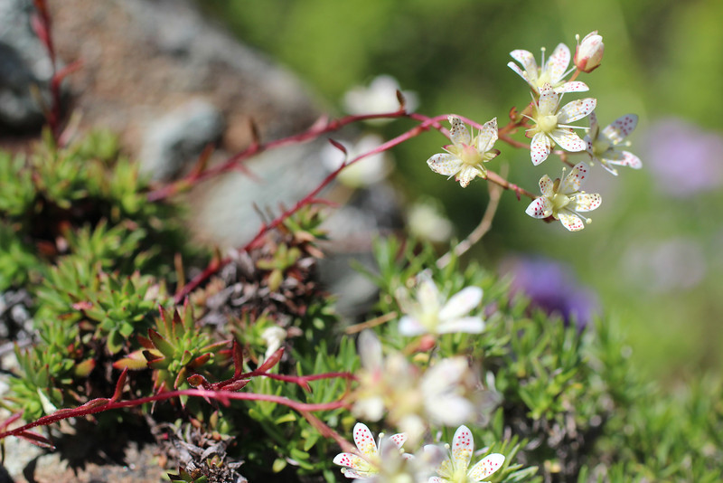 More Saxifrage (perhaps).