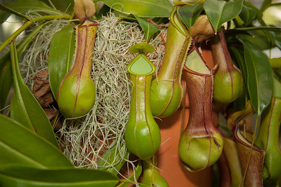 Pitcher plants are carnivorous plants whose prey-trapping mechanism features a deep cavity filled with liquid