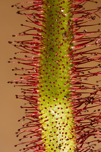Drosera, commonly known as the sundews, comprise one of the largest genera of carnivorous plants, with at least 194 species