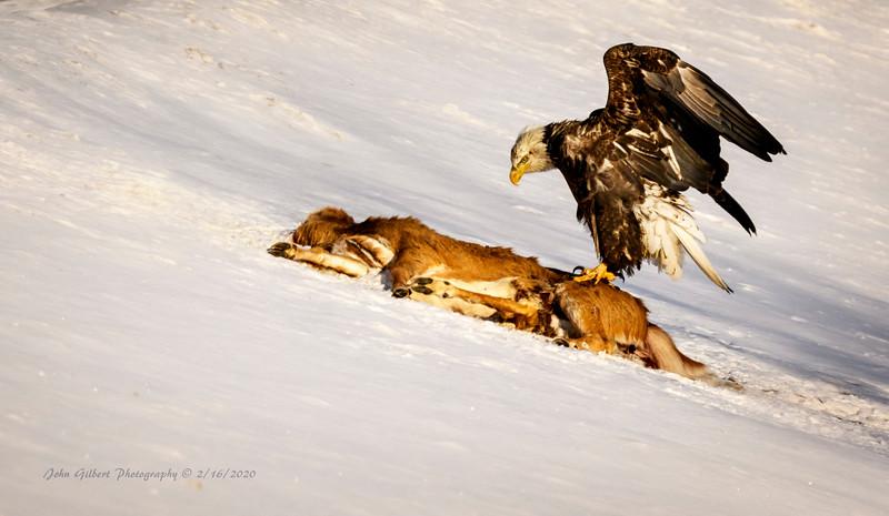 Bald Eagle & Deer Carcass