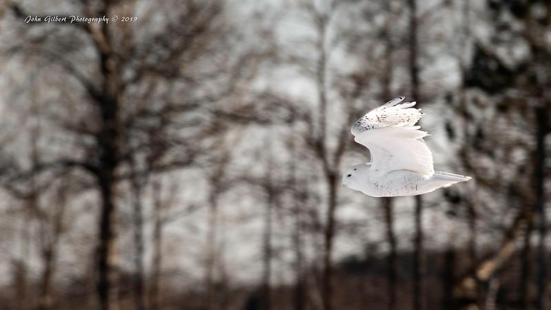Snowy Owl #2