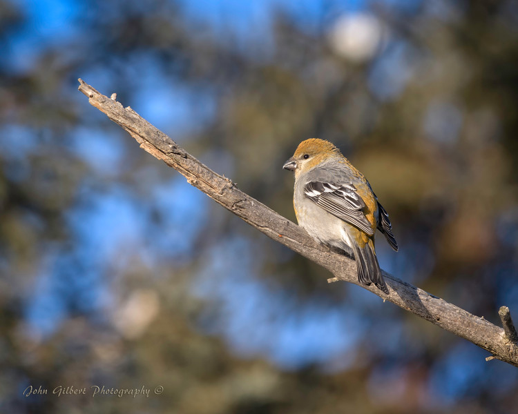 Female Pine Grosbeak #2