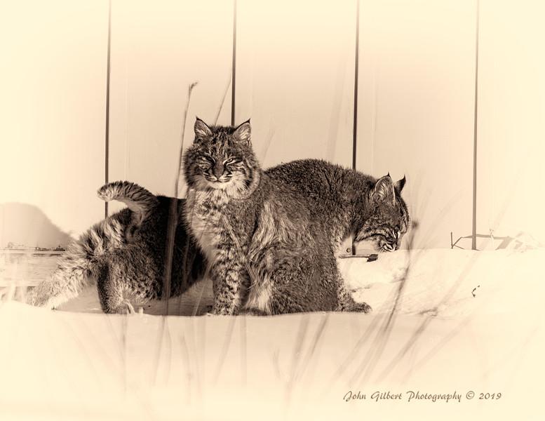 Bob Cat #2