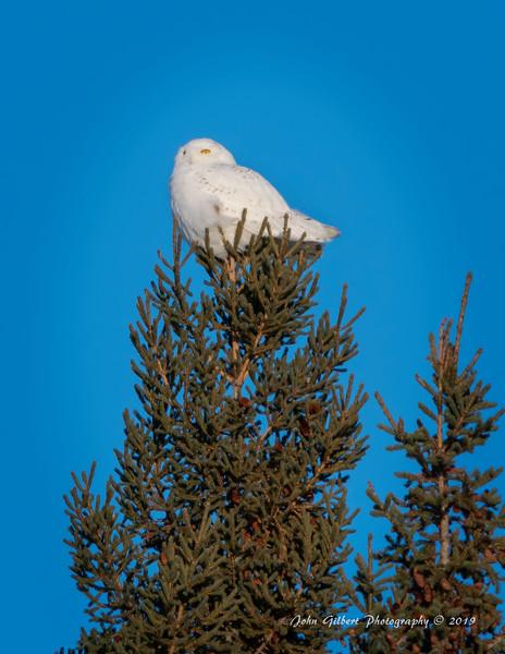 Snowy Owl #1