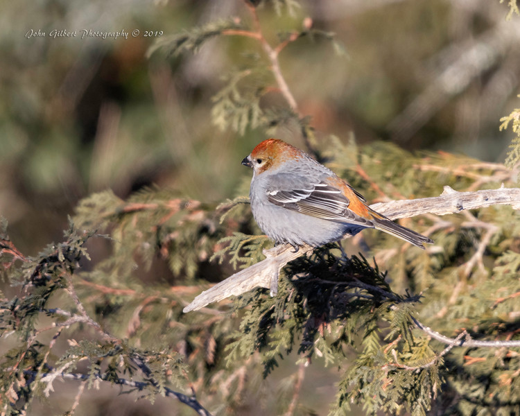 Female Pine Grosbeak #1