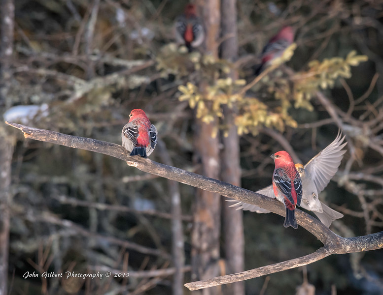 Pine Grosbeak #2