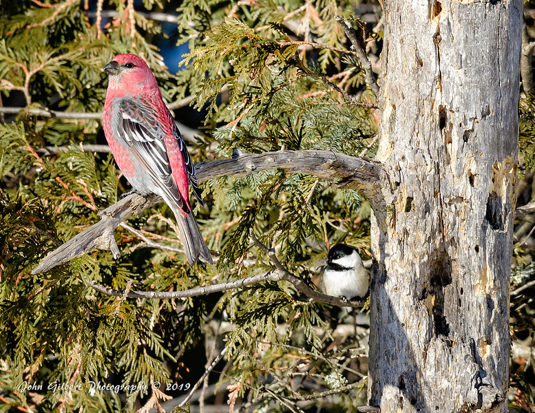 Pine Grosbeak #1