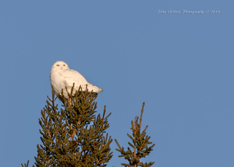 Snowy Owl #3