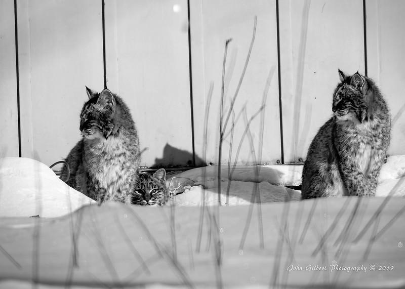 Bob Cats #1