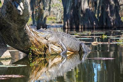 Lump on a Log - Louisiana