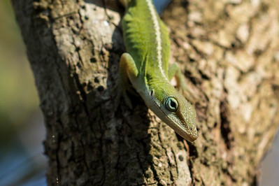 Gecko at Breaux Bridge