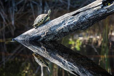 """Turtle Reflection"""