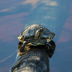 Turtle Posing - Ding Darling NWR