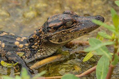 Baby Gator Closeup in Anahuac NWR