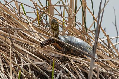 Turtle in the Straw - Bosque del Apache