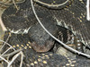 Pacific Black Rattlesnake