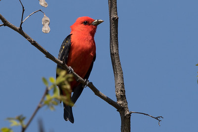 male Scarlet Tanager Trempealeau NWR May, 2017