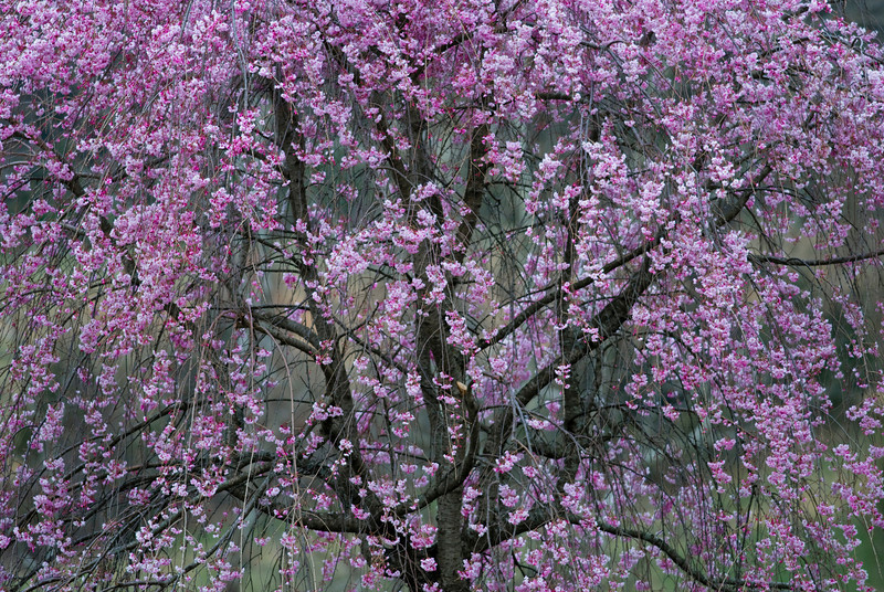 Japanese Cherry Tree, Afton, Virginia