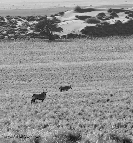 <em><b><center> Oryx in B&W