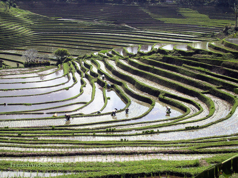 <center><Strong>Rice field, Bali.
