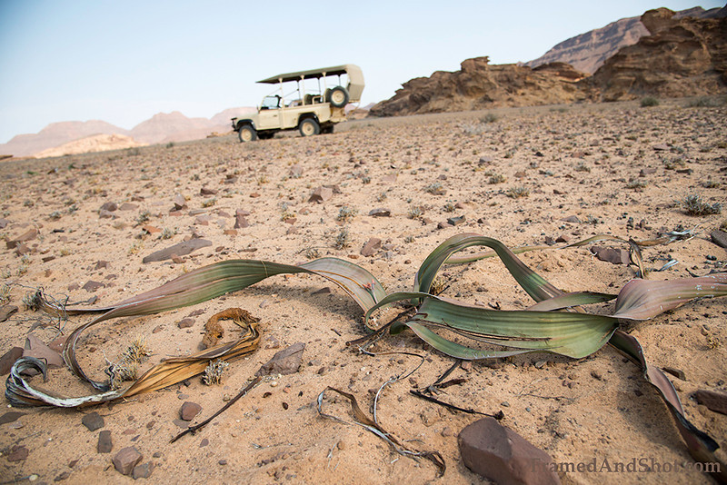 <strong><center><b>Welwitschia mirabilis is endemic to the Namib desert within Namibia and Angola. The plant only produces a single pair of functional leaves. Welwitschias are very long-lived, living 1000 years or more. Some individuals may be more than 2000 years old.