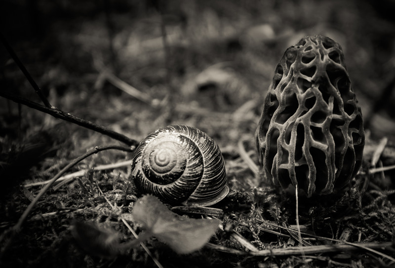 Idaho Morel Mushroom and snail