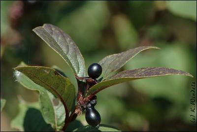 Berries -  Reifel