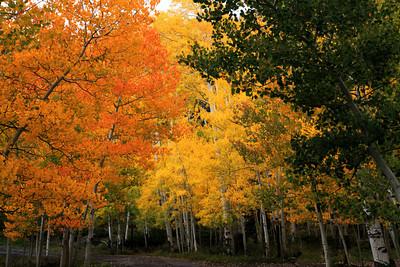 Fall Aspens Near Torrey, Utah