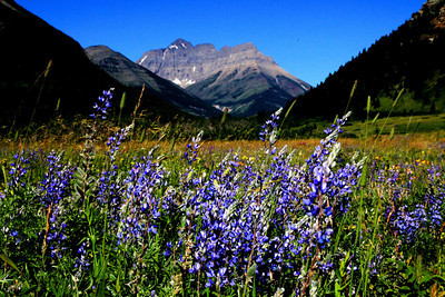 Silver Lupine in Montana