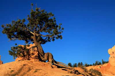 Bristle Cone Pine at Bryce Canyon National Park