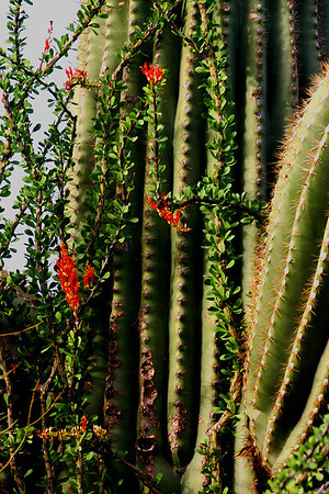 Ocotillo and Saguaro in Arizona