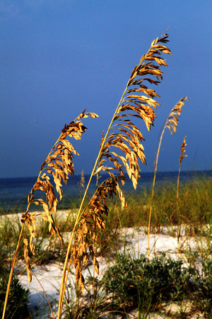 Sea Oats on Santa Rosa Island, Florida