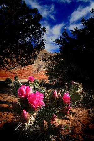 Yant Flat Cactus