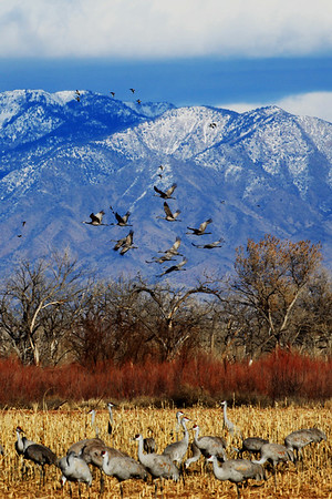 Sandhill Cranes in New Mexico