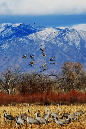 Sandhill Cranes in New Mexico
