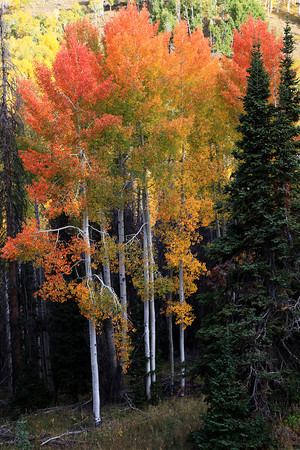 Fall Aspens On The Energy Loop In Central Utah