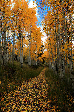 Lane in Aspen Woods In Central Utah