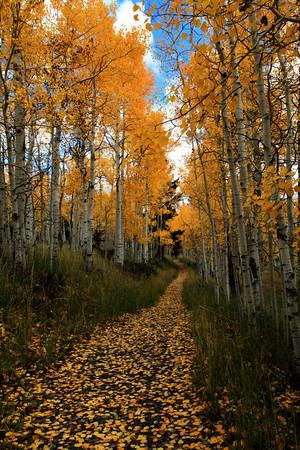 Lane in Aspen Woods In Central Utah
