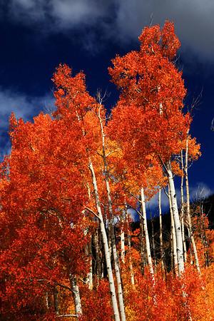 Fall Aspens On The Energy Loop In Central Utah