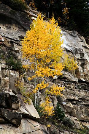 Lone Aspen in Central Utah