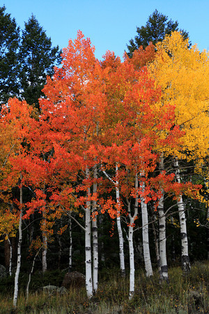 Fall Aspens Near Helper, Utah