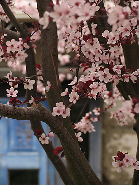 SPRING BLOSSOMS IN HARMONY TOWN