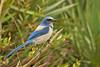 Scrub Jay: St. Sebastian River Preserve