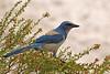 Florida Scrub Jay: St. Sebastian River Preserve