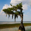 Cypress Tree - Lake Harris
